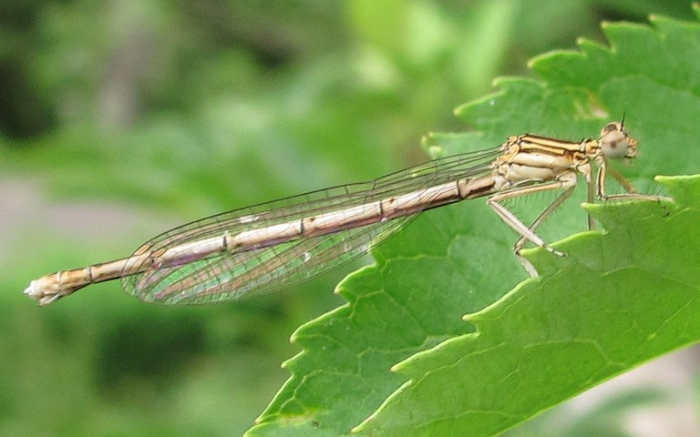 Libellules, coenagrionides,Agrion a larges pattes , Coeagrion Platycnemis