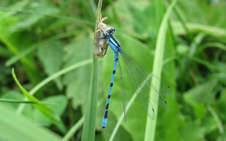 Libellules - coenagrionides - Agrion porte coupe - Enallagma Cyathigerum