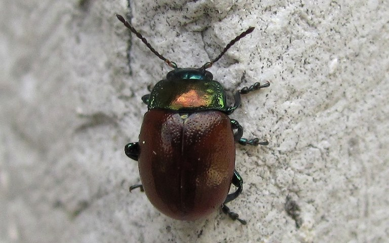 Coleopteres - Chrysomelides - Chrysolina Polita