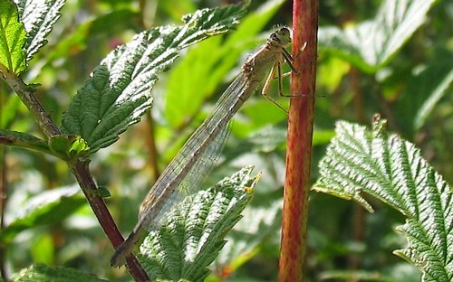 agrion inconnu