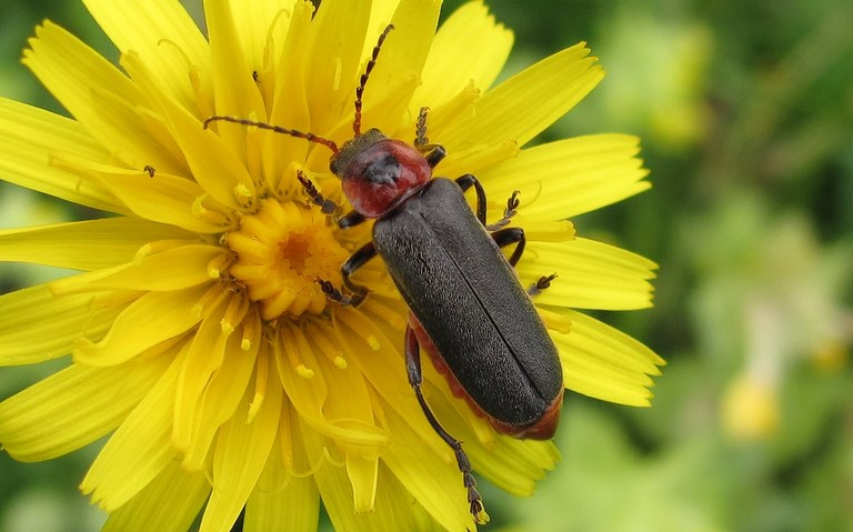 Coleopteres - Cantharides - Telephore sombre - Cantharis Fusca