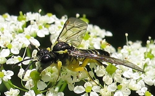 Hymenopteres - Tenthredides - Tenthrede commune - Tenthredo Mesomela